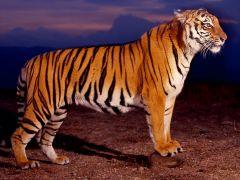 Нічне полювання.   Файні тигри.   Розмір 1024 X 768