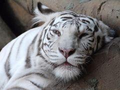 Крізь сон.   Файні тигри.   Розмір 1024 X 768