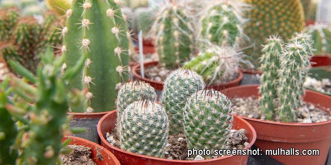 Подія 10 травня - Всесвітній день кактуса