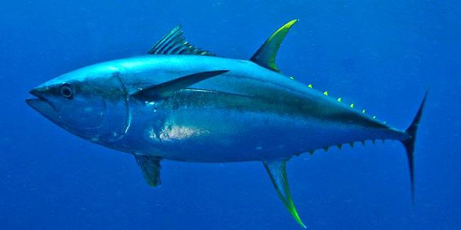 На відміну від інших порід риб, тунець здатний збільшити і підтримувати температуру тіла на декілька градусів вище температури навколишньої води і може бути класифікований як теплокровну тварину